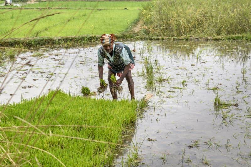 Travaux indiens d'agriculteur dans la rizière du Bengale-Occidental, replantant l'usine de riz dans le domaine images stock
