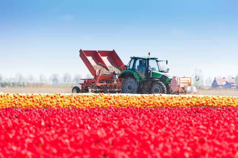 Travaux roses de champ et de tracteur de tulipe sur le fond image stock