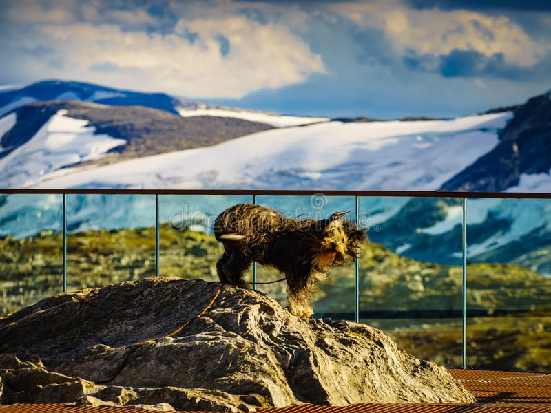 Travel with animals. Dog on viewpoint, Norway. Travel with animals. Dog on Dalsnibba viewpoint in Norway royalty free stock photos