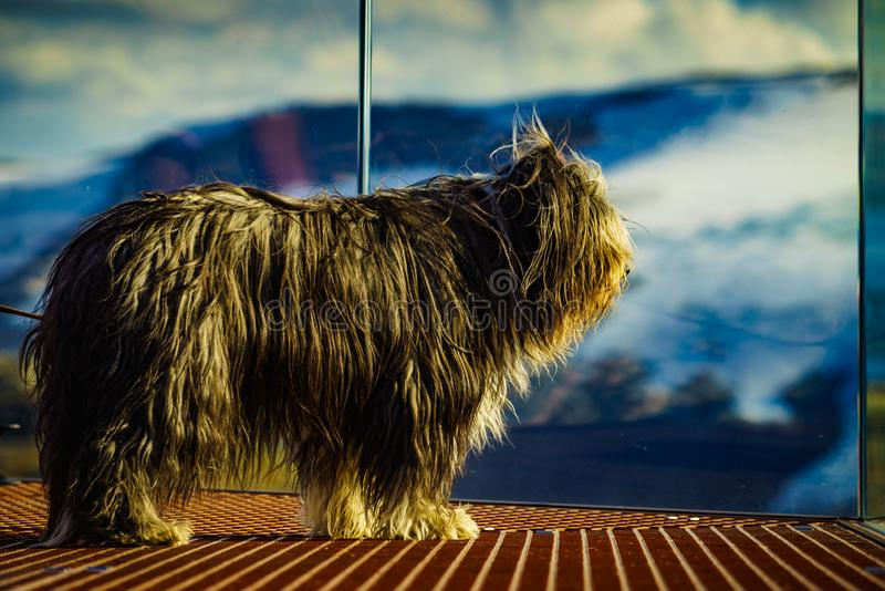 Travel with animals. Dog on viewpoint, Norway. Travel with animals. Dog on Dalsnibba viewpoint in Norway royalty free stock photography