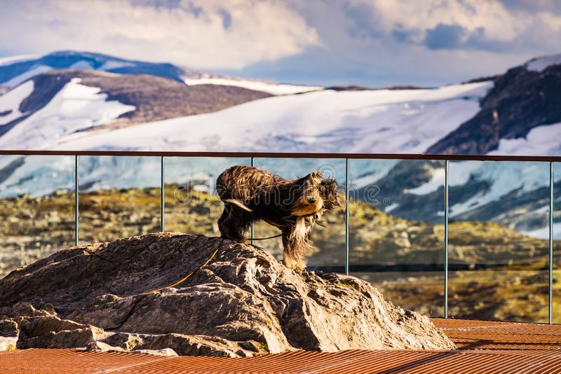 Travel with animals. Dog on viewpoint, Norway. Travel with animals. Dog on Dalsnibba viewpoint in Norway royalty free stock photo