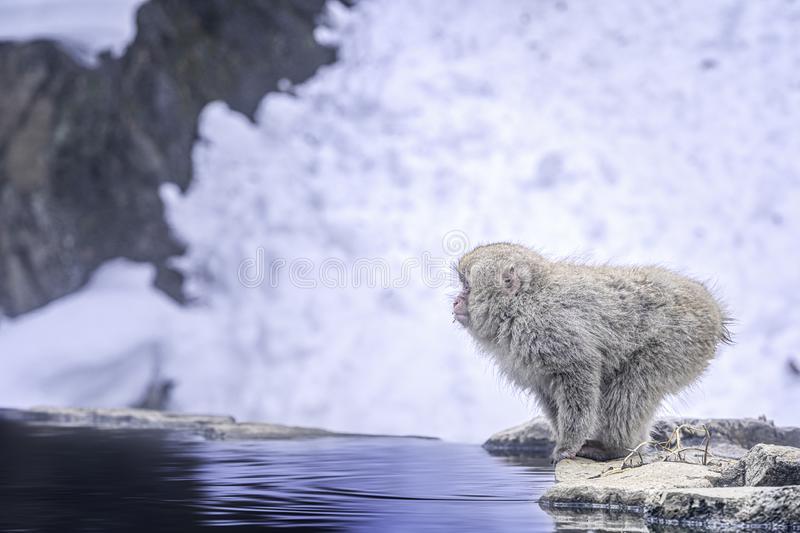 Travel Asia. Monkey jumping into the water. Japanese monkey are soaking in the onsen. Red-cheeked monkey. During winter, you can. See monkeys soaking in a hot royalty free stock photo