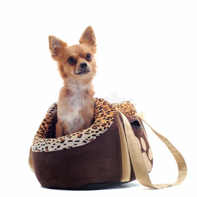 Download Travel bag and chihuahua stock photo. Image of background - 20818884