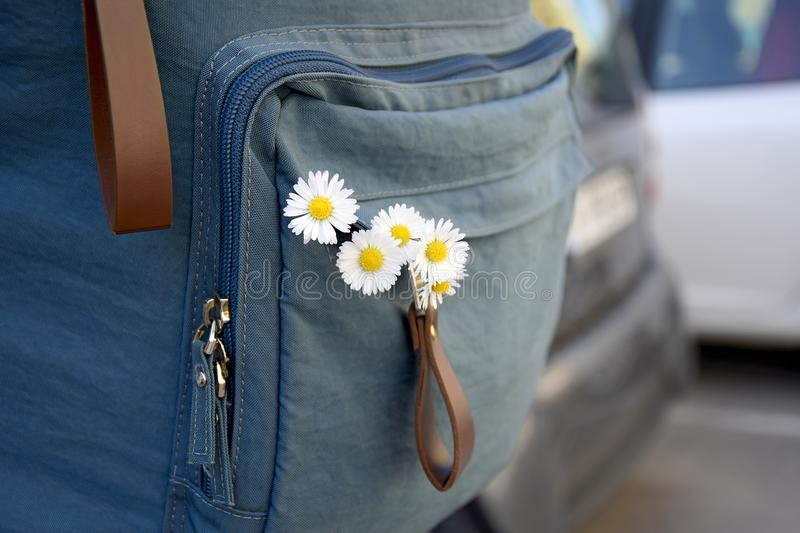Travel, holidays, vacation: White daisies inside backpack. Flowers in girl`s backpack. Five field daisies inside backpack. royalty free stock photos