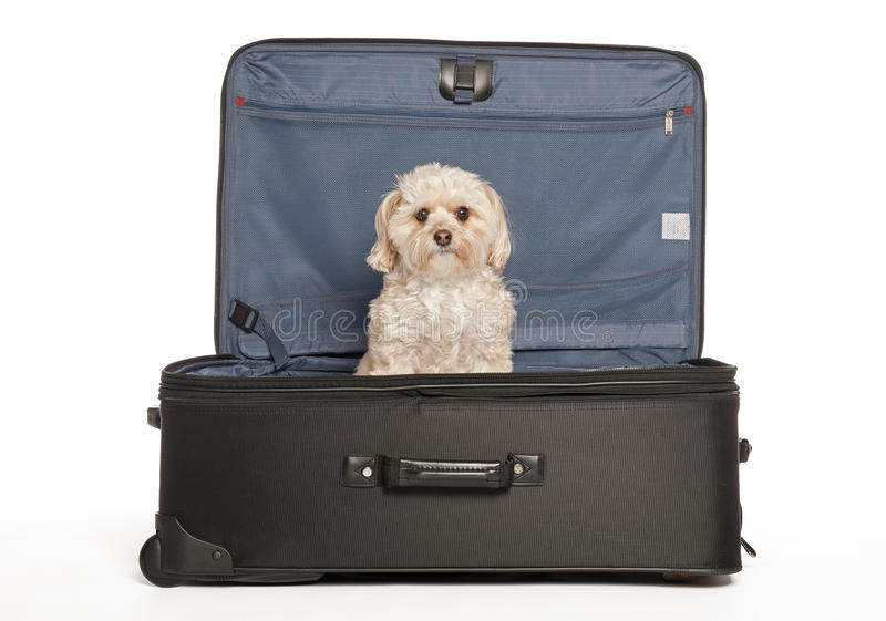Travel Puppy. Maltese - Yorkie (Morkie) Puppy in Travel Suitcase stock photos