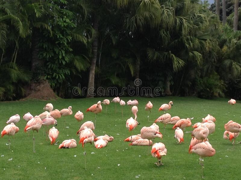 Travel to the  the Canary Islands, Spain, summer landscape: pink flamingos on a green lawn stock photo