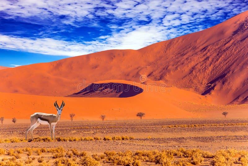 Impala - African antelope royalty free stock images
