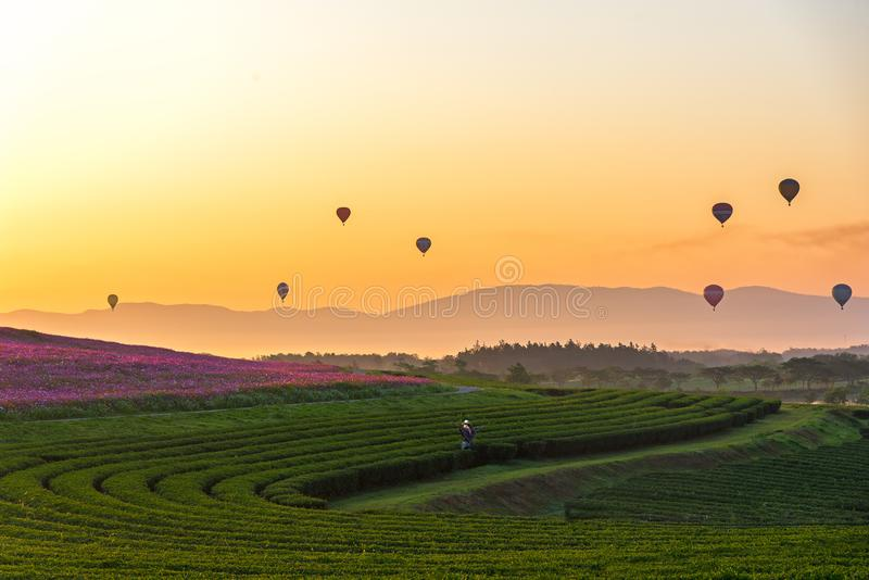 Traveler asian woman relax and freedom in beautiful Tea Plantation near blooming cosmos flower garden. And see hot air balloon on the mountain in the sunrise stock images