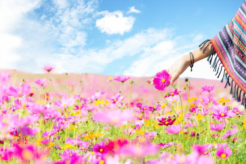 Traveler Asian women hand touch cosmos flower, freedom and relax in the flower farm,. Blue sky background. Lifestyle Concept stock photography