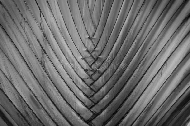 Traveler's Palm Tree in Black & White as Natural Texture Background stock photos