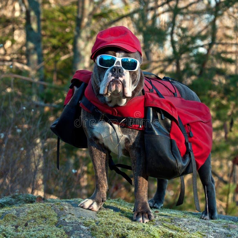 Dog backpack ....Traveling bulldog stock photography