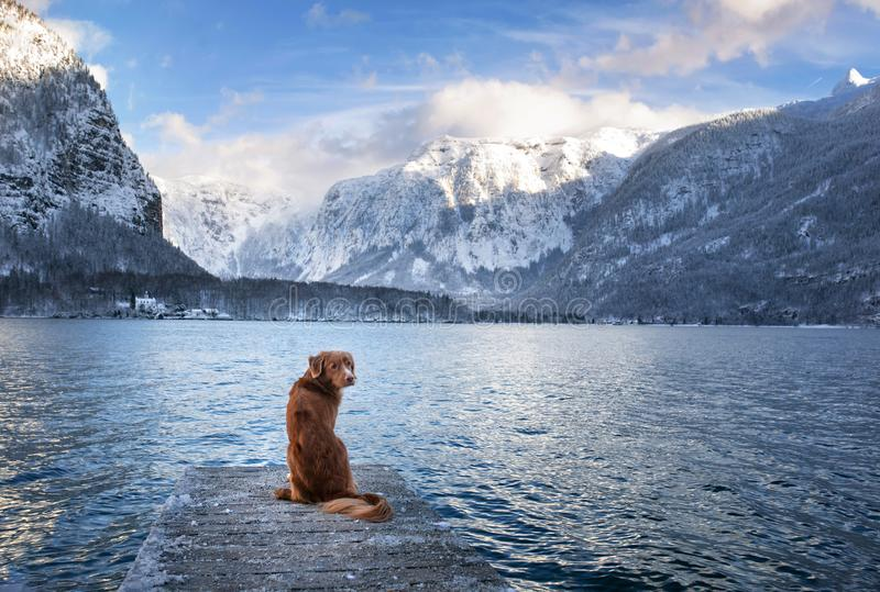 Traveling with a dog in Autria. Nova Scotia Duck Tolling Retriever on the dock in a mountain lake. Pet in winter stock images