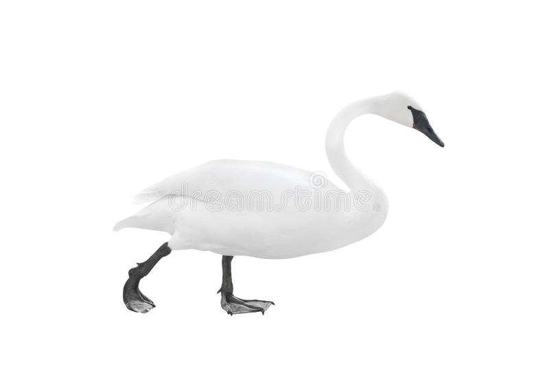 Traveling swan isolated stock photography