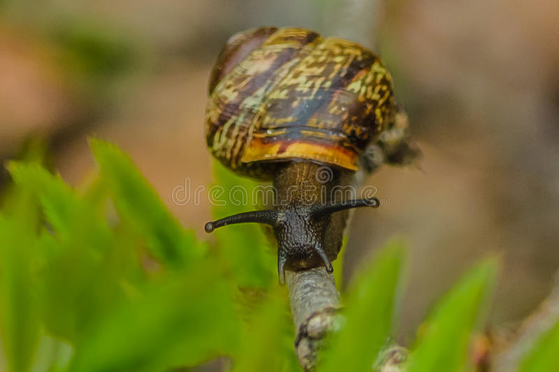Traveling vineyard snail on tree branch summer, Park, close-up, stock photos