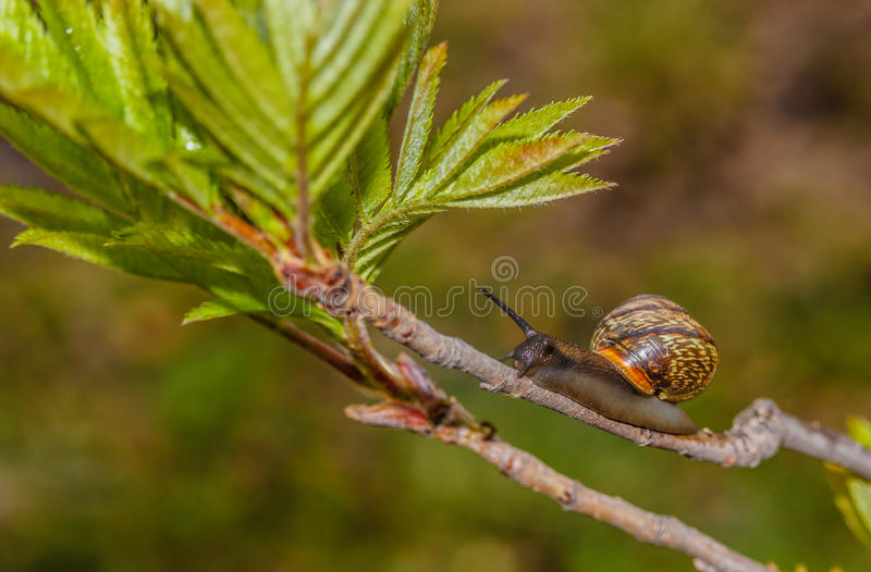 Traveling vineyard snail on tree branch summer, Park, close-up, stock photo