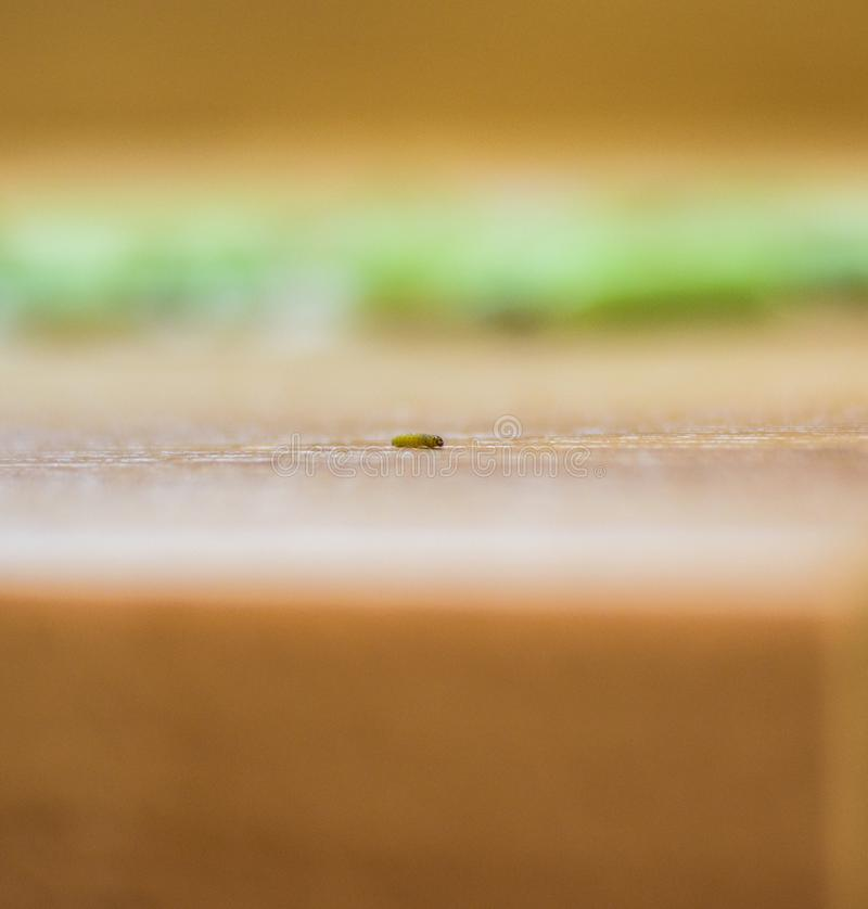 The traveling worm got out of peas stock photography