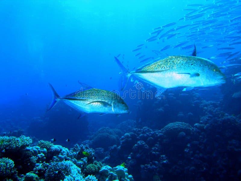 travelly tuńczyka błękitnopłetwego zdjęcia royalty free