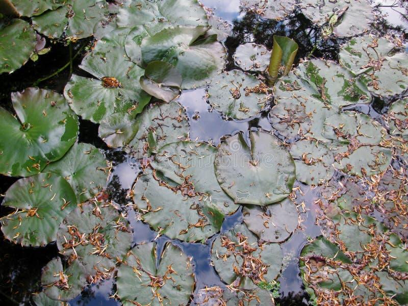 Travertine, die in einen Teich schwimmen stockbild