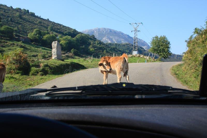 Travesía animal el camino Alarma de la vaca imagenes de archivo