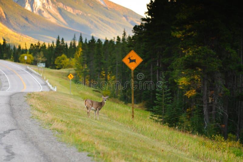 Travesía de los ciervos fotos de archivo