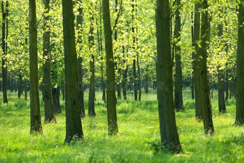 traw drzewa fotografia royalty free