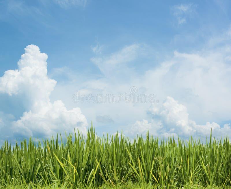 Trawa i piękny niebo. Rice pola tło obrazy stock