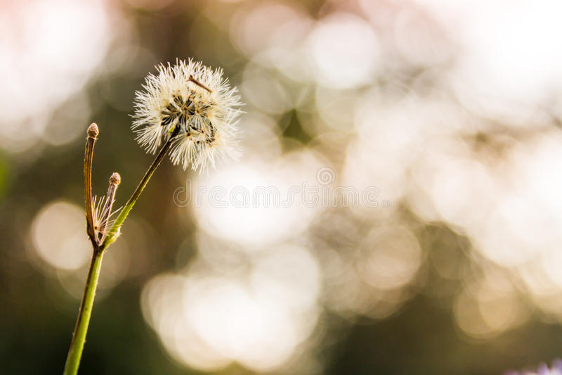Trawa kwitnie, bokeh tło, evening zmierzch obraz stock