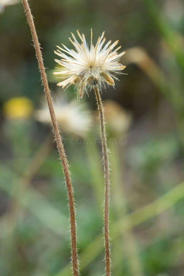 Trawa kwitnie selekcyjną ostrość z płytką głębią pole zdjęcia stock