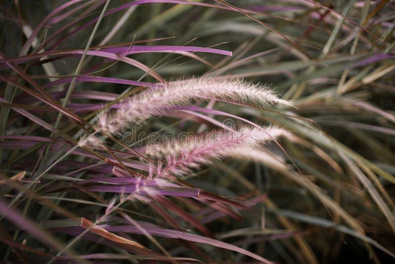 Trawa kwitnie z magenta trawą fotografia stock