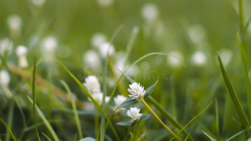 Trawa paśnik w obszarze trawiastym uprawia ziemię na piękny pogodnym Trawa kwiaty z miękkim ostrości tłem zdjęcie royalty free