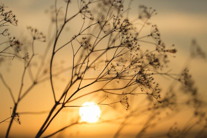 Trawa przy zmierzchem przeciw słońcu zdjęcia royalty free