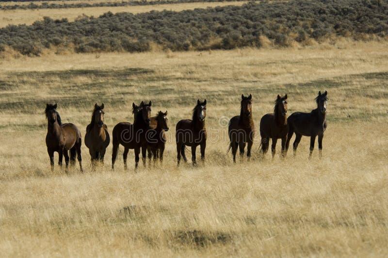 trawa się dzikie konie wyżej fotografia royalty free
