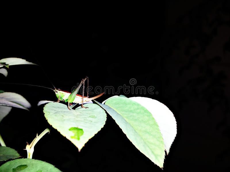 Trawa skakacz chwytający przy nighttime na Różanym drzewo zieleni życiu fotografia royalty free