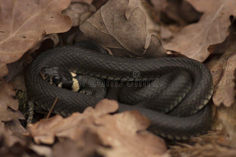 Trawa wąż & x28; Natrix natrix& x29; wśród suchych dębowych liści fotografia stock