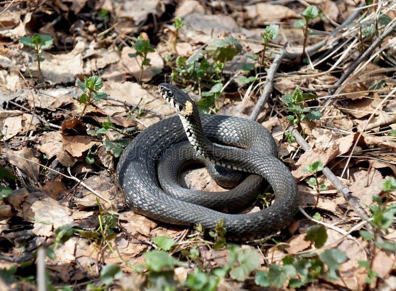 Trawa wąż w lasowej wczesnej wiośnie (Natrix natrix) obraz stock