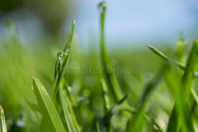Trawa z kroplami rosy porannej Zrzut z miękkim ogniskiem Tło abstrakcyjne fotografia royalty free