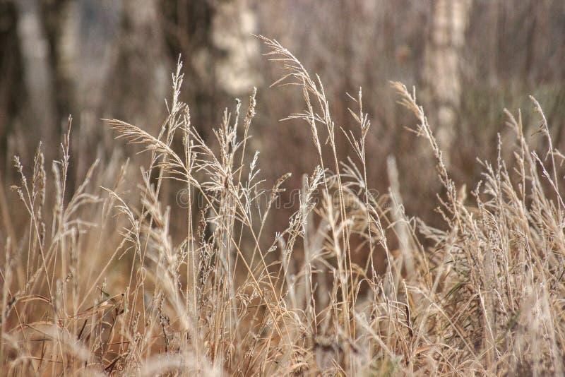 Trawa z mrozową zimą przychodził nieoczekiwanie Wysuszona trawa headpiece, tło zdjęcie royalty free