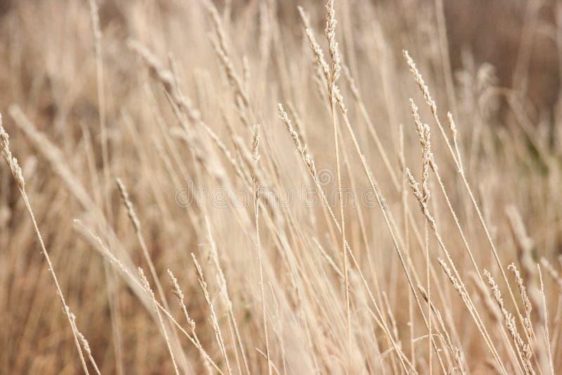 Trawa z mrozową zimą przychodził nieoczekiwanie Wysuszona trawa headpiece, tło fotografia royalty free