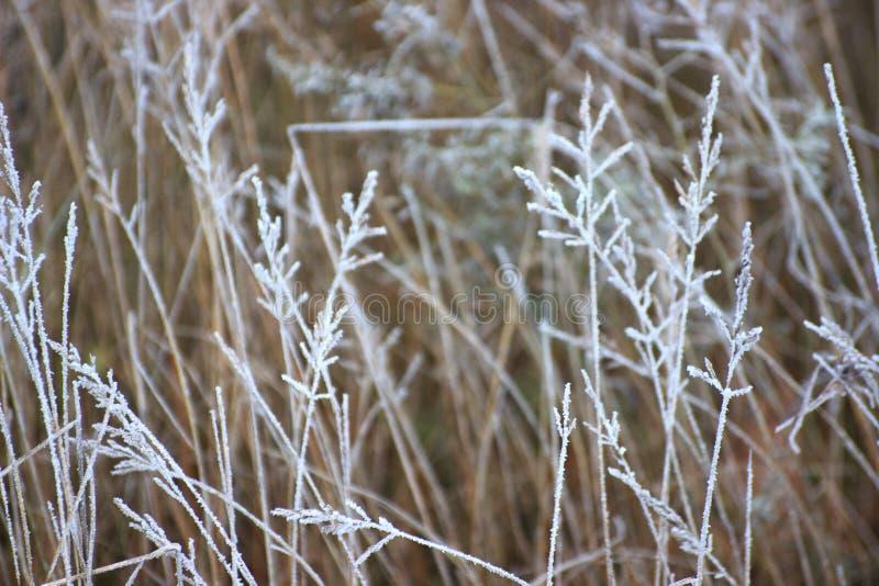 Trawa z mrozową zimą przychodził nieoczekiwanie Wysuszona trawa headpiece, tło obrazy stock