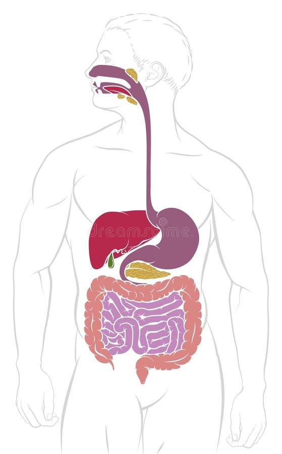 Trawiennego systemu Gastrointestinal obszaru diagram ilustracji