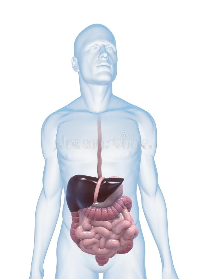 trawienny ludzki system ilustracja wektor