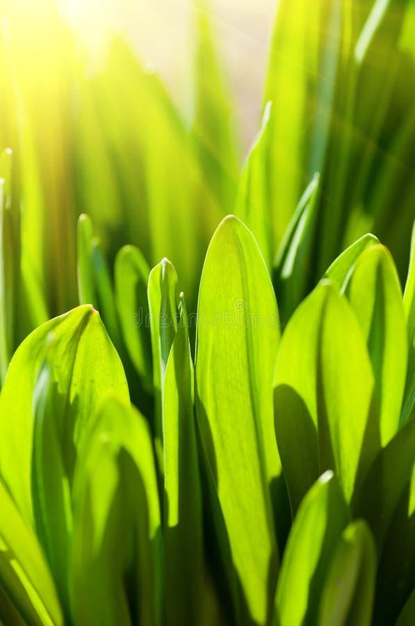 trawy świeża zieleń obrazy stock