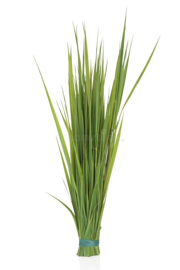 trawy żyto fotografia stock