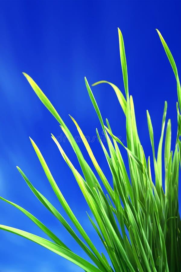 trawy błękitny zieleń zdjęcie royalty free