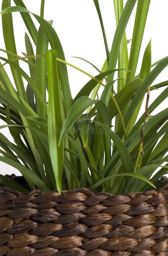 trawy cytryna zdjęcia stock