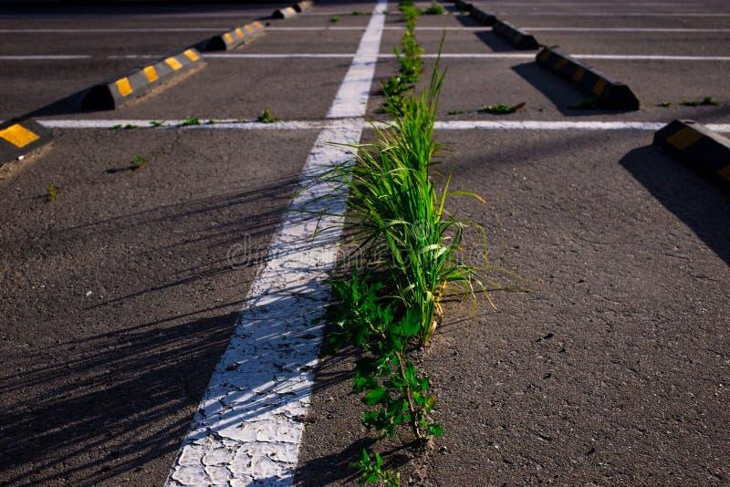 trawy dorośnięcie przez asfaltu w parking w lecie obrazy royalty free