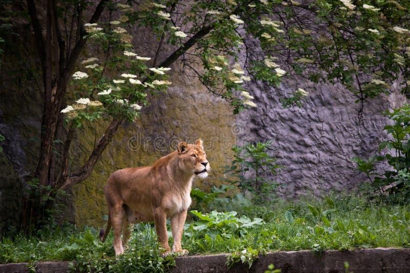 trawy lwica fotografia stock