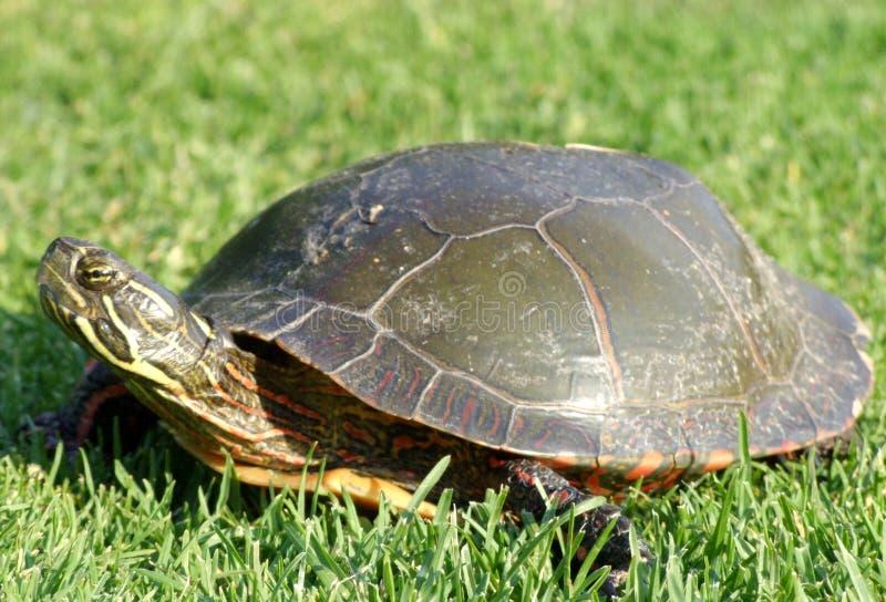 trawy pełzający zwierzaka żółwia obraz stock