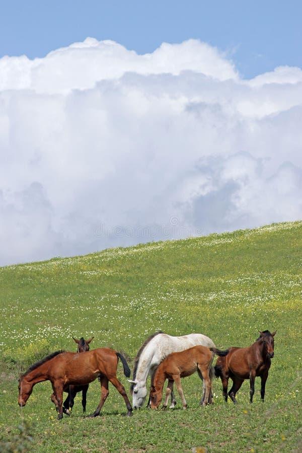 trawy polowe terenów do wypasu zielonych hiszpańskich koni obrazy royalty free