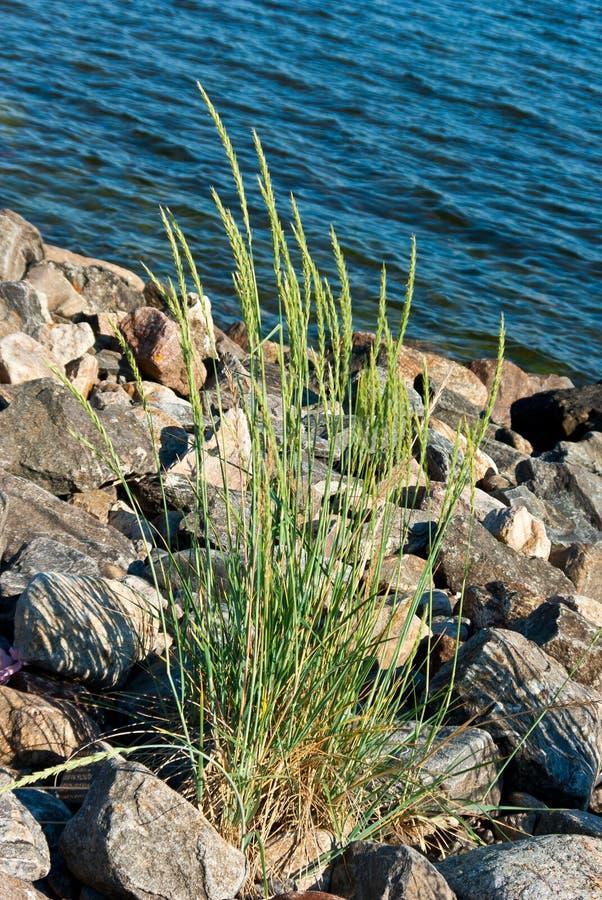 Trawy roślina fotografia stock